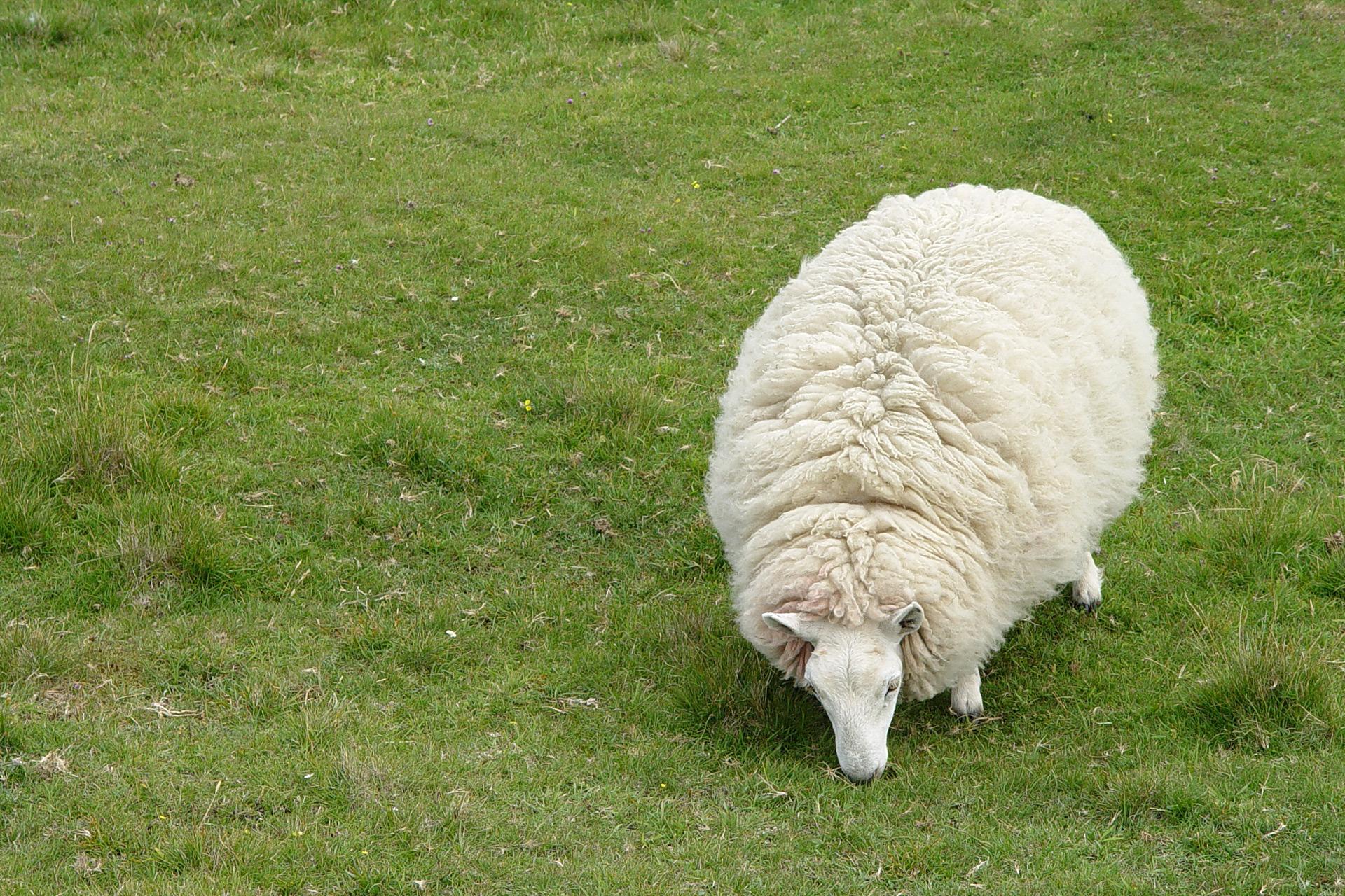Glückliches Schaf auf der Isle of Skye