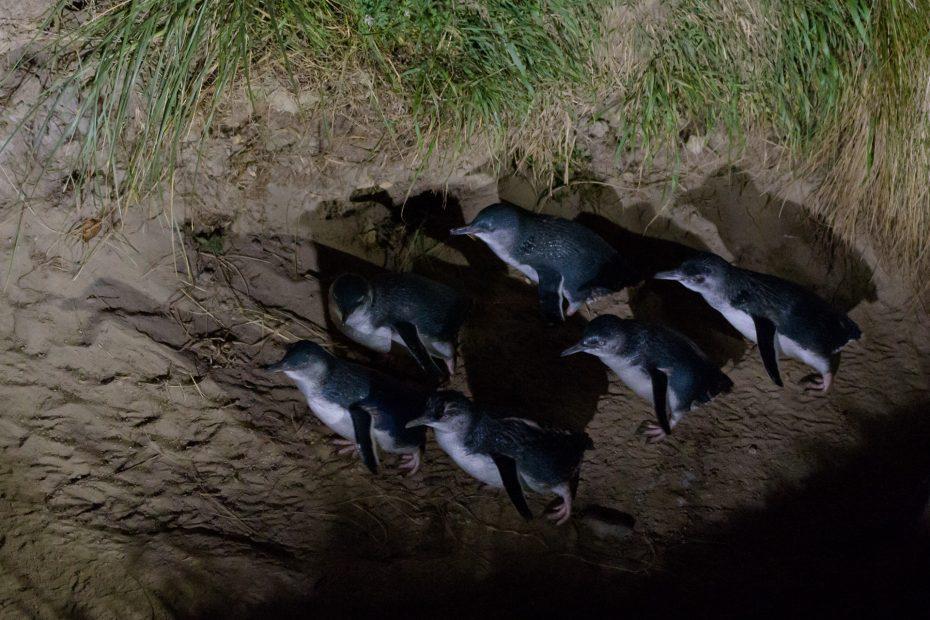 Blaue Pinguine - Otago