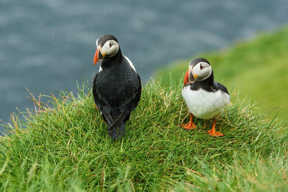 Faröer Inseln - Papageientaucher