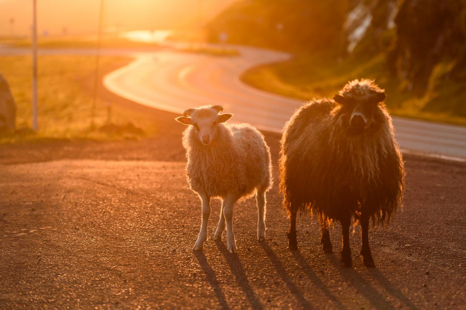 Schafe | Faröer Inseln