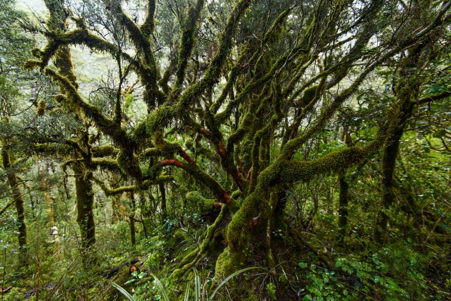 Regenwald | Neuseeland